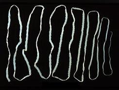 a galandféreg felnőttkori tünetei papillomatosis farkasokban