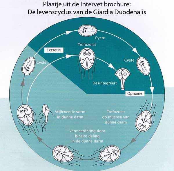 Giardia mens symptomen. Giardia mens symptomen, A pinworms a leghatékonyabb gyógyszer