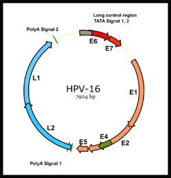 Epsilonpapillomavirus - Epsilonpapillomavirus - diamondance.hu