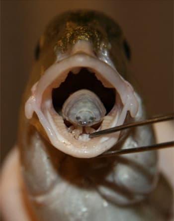 parazita ryba jazyk