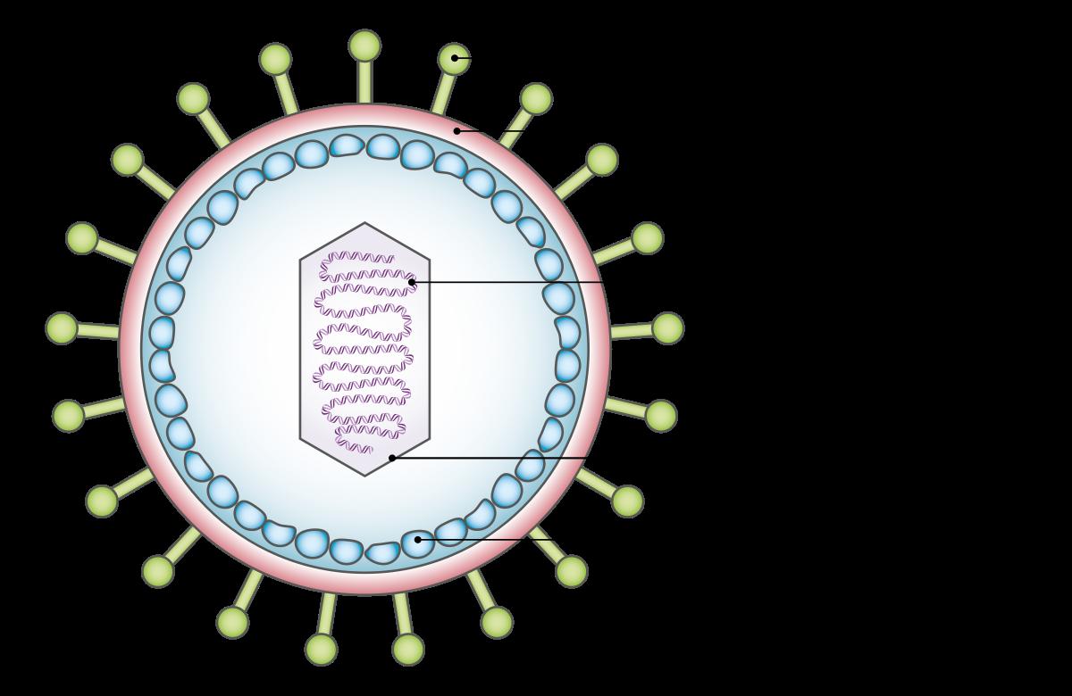 pozitív humán onkogén papillomavírus)