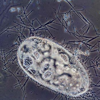 paraziták fc