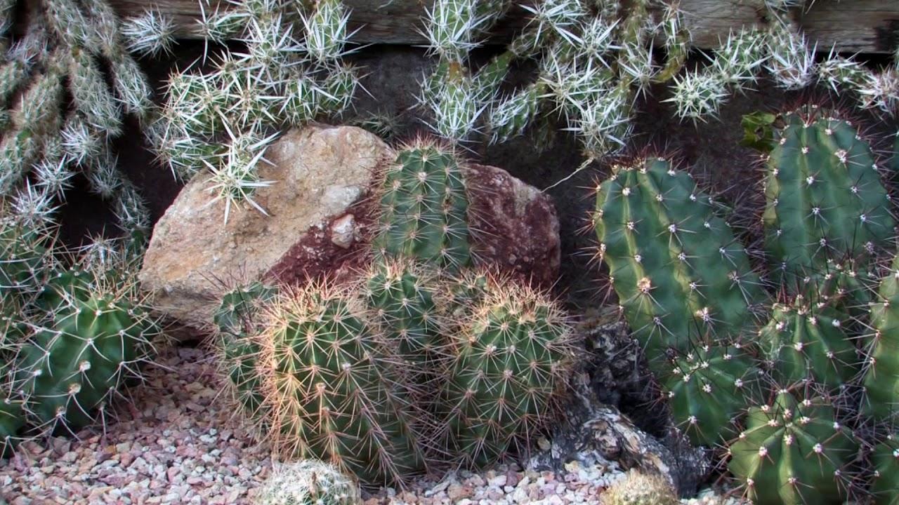 Cheflera paraziták. Kaktuszok és paraziták kezelése, Hogyan fertőz a férgesség?