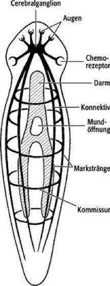nervensystem plathelminthen