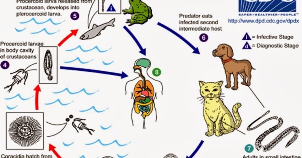 emberi papilloma vírus fertőzés, vagyis