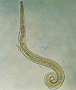 Pinworms lefogy a férgek
