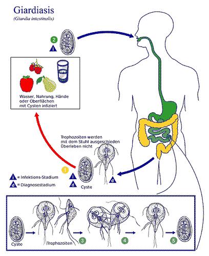 Giardien mensch schwangerschaft. Hepatitis C 5 diéta :: diamondance.hu