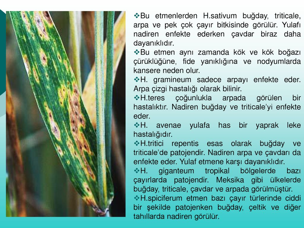 helminthosporium sativum árpa