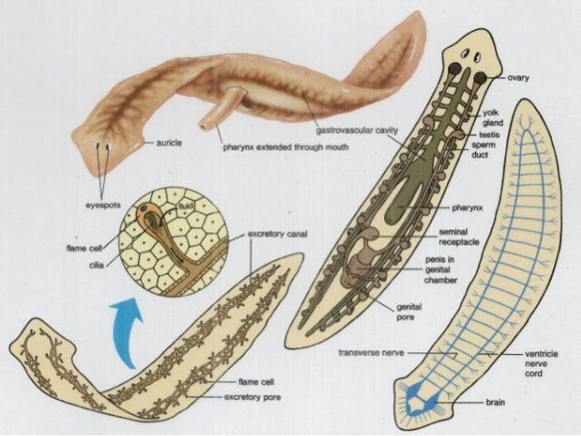 helminták példák paraziták használata