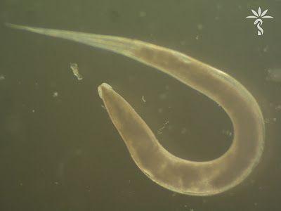 A pinworms parazitizálnak a bél tesztben
